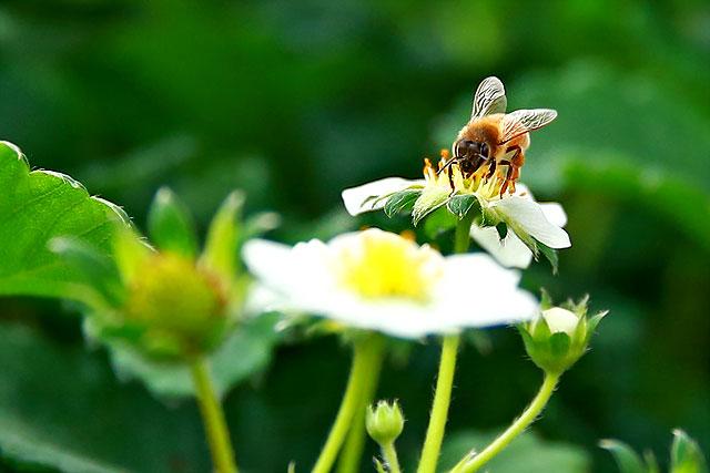 森のいちご-ミツバチ2.jpg