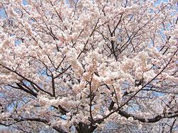峰山 桜.jpg